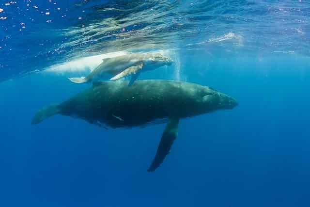 https://tahititourisme.de/wp-content/uploads/2019/04/Bora-Bora-Humpback-Whales.jpeg