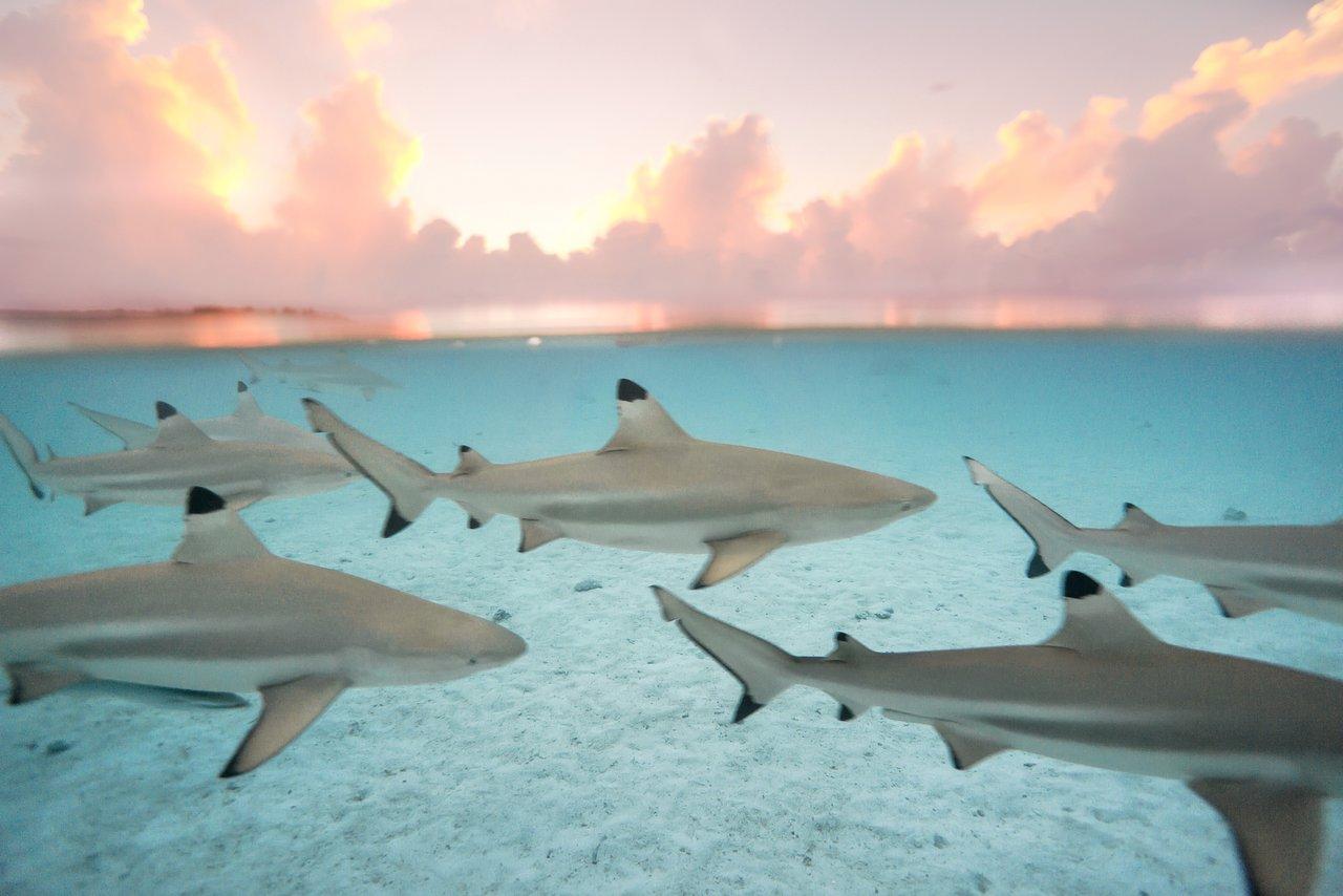https://tahititourisme.de/wp-content/uploads/2020/06/blacktip-reef-shark-sunset.jpg