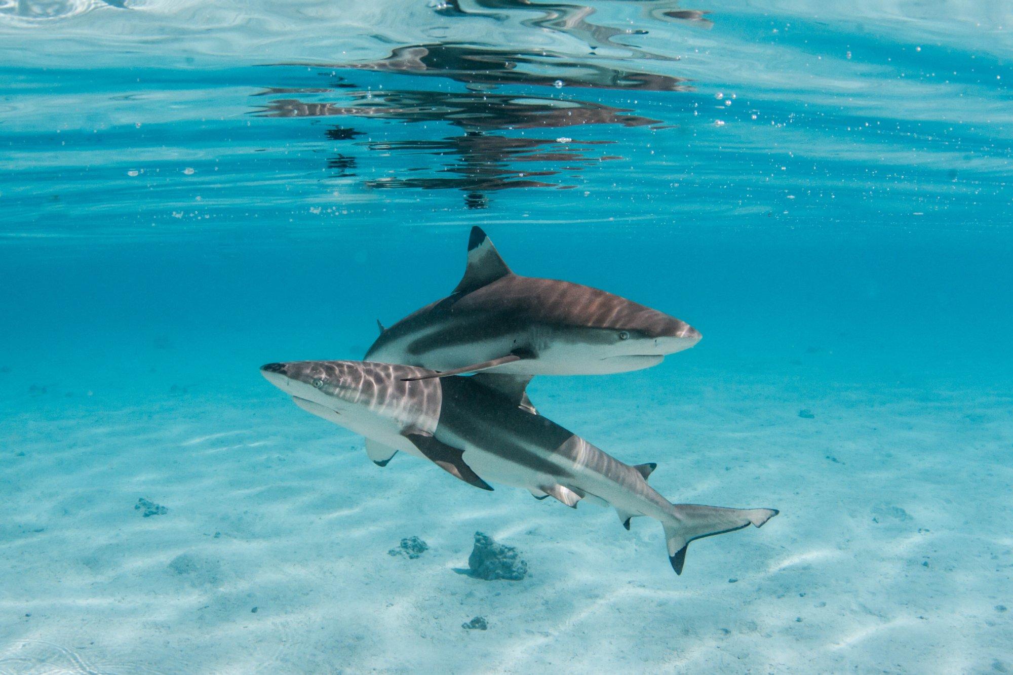 https://tahititourisme.de/wp-content/uploads/2020/06/deux-magnifiques-requins.jpg